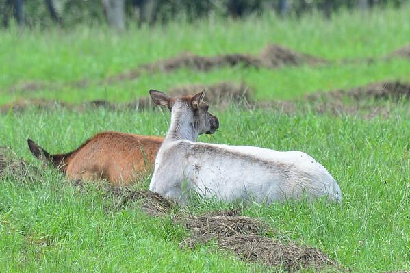 8 2013 Aug 13 Piebald Cow Elk (White Coloured)*