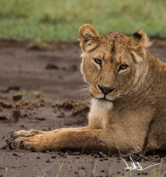 Lions Ngororgoro - S-5.jpg