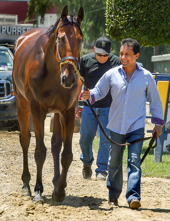 . Jockey Victor Espinoza walking American Pharoah at Santa Anita Park. Racehorse American Pharoah returned to Southern California, Thursday, June 18, 2015, for the first time since breaking a 37-year Triple Crown drought by winning the Kentucky Derby, Preakness and Belmont Stakes. American Pharaoh was aboard an equestrian airline from Louisville, Ky., to Ontario International Airport, where he will be loaded into a van and driven to Santa Anita Park.(Photo by Walt Mancini/Pasadena Star-News)