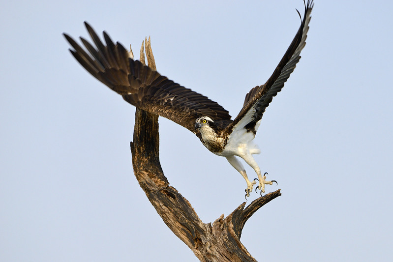 Osprey-take-off.jpg
