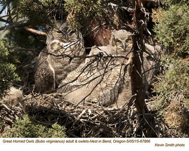 Great Horned Owls F&N67866 .jpg