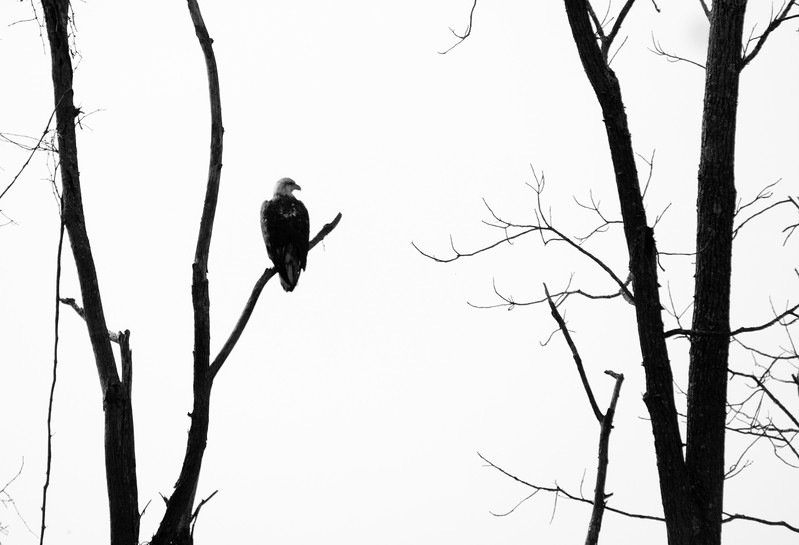Bald Eagle in Cuyahoga National Park