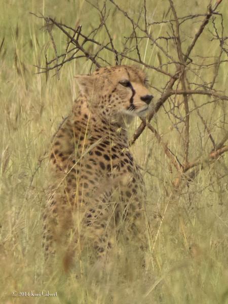 CheetahK-6.jpg