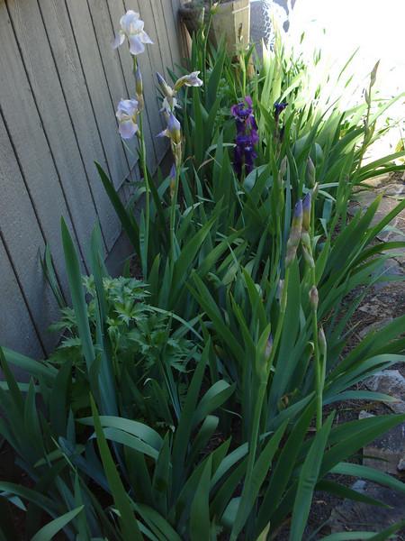 Iris 06-12-08