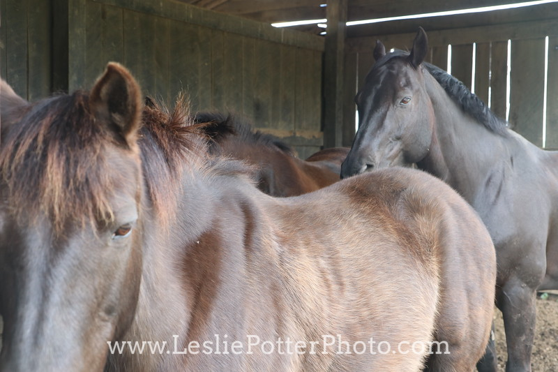 Horses in a Shelter