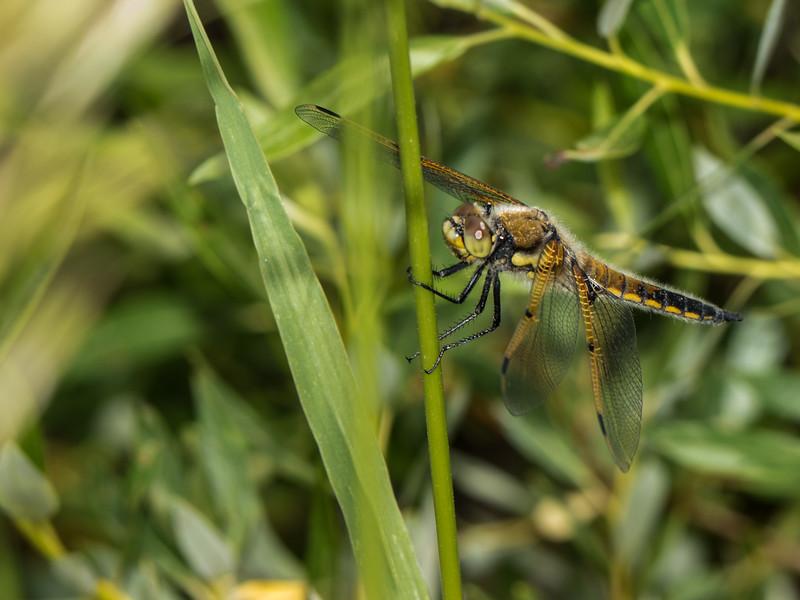 Four-spotted Skimmer - Libellula quadrimaculata (M)