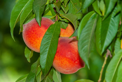 June Gold Cling Peach - Prunus persica sp.