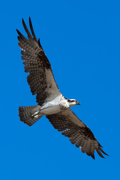 Osprey in flight