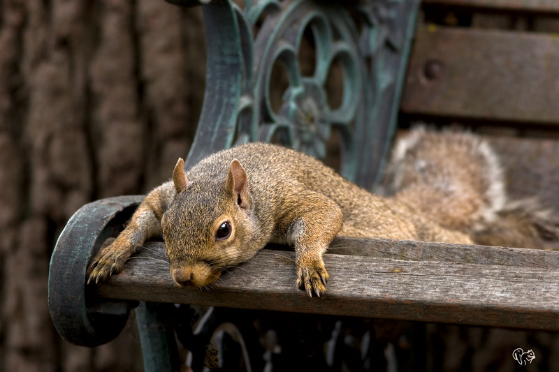 Some of you may remember mom sq flopped on the bench from early summer....Here she is again and again with at least one young. Only 23% of the squirrels (greys/fox) have two litters a year and it is usually the more mature females.  How the mast (nut crop) was the previous fall plays a big part.