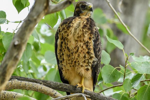 8-12-16 *^Swainson's Hawk Juveniles