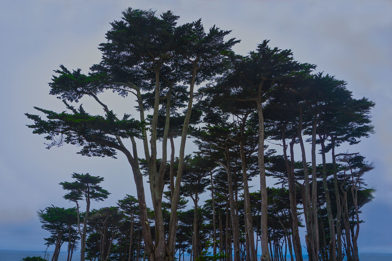 Cypress Trees, San Francisco, CA