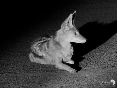 Jackal at night