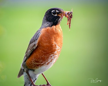 Robins and Critters