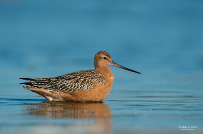 Bar-tailed Godwit (Limosa lapponica) NT