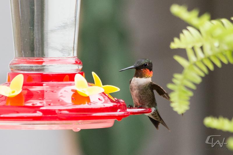 Hummingbird-1947.jpg