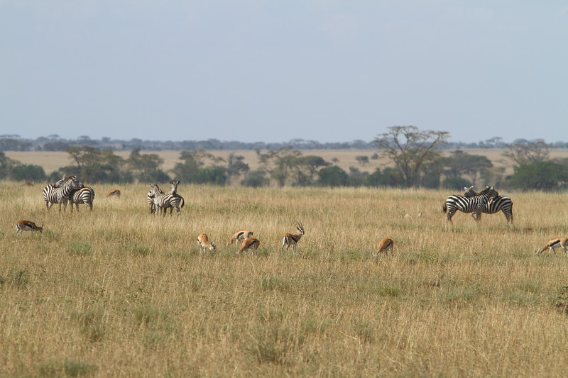 Zebras and Tommies.JPG