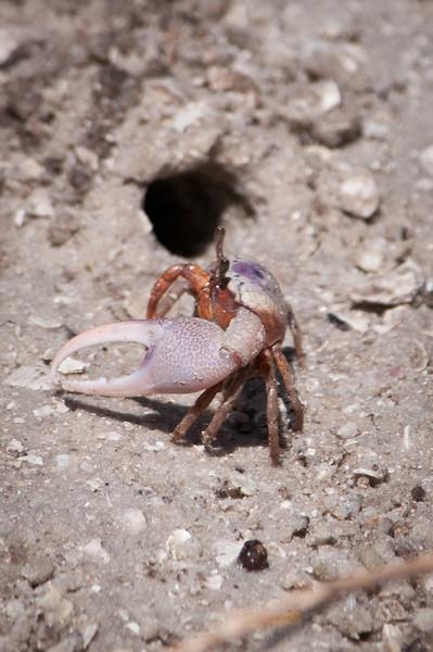 Fiddler Crab at Ding Darling