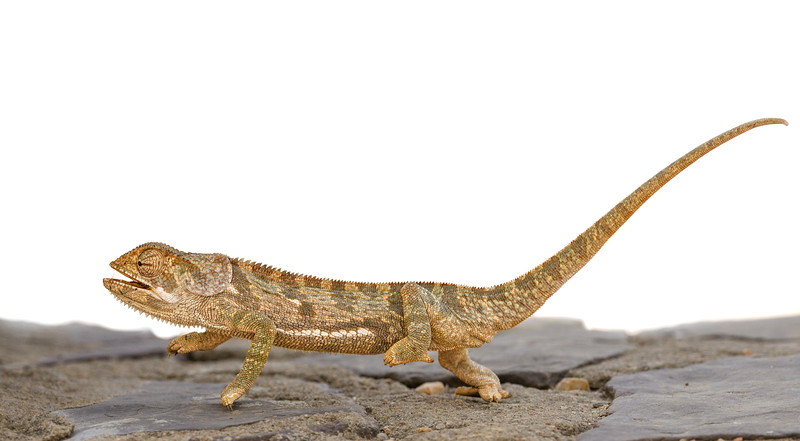 Flap-necked-chameleon-tanzania.jpg