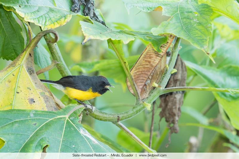 Slate-throated Redstart -  Mindo, Ecuador