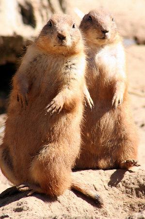 Meerkats and Prairie Dogs