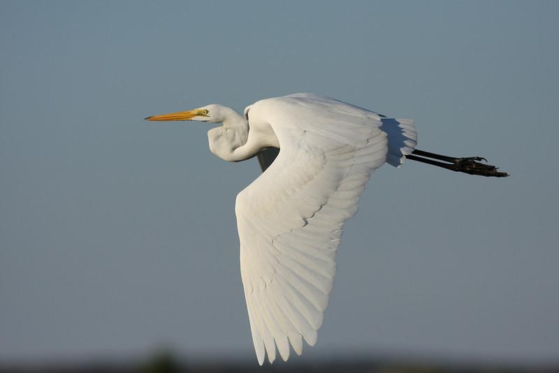 A great egret on Dune Road, Hampton Bays, NY.