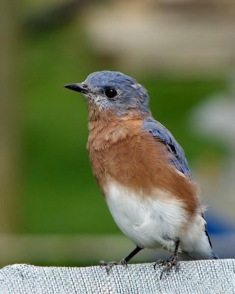 bluebird_fledgling_8580.jpg