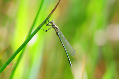 Black Spreadwing