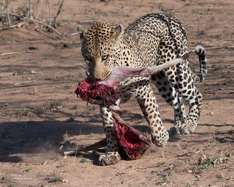 Leopard (Anderson), Sabi Sands (EP), SA, Oct 2016-4.jpg