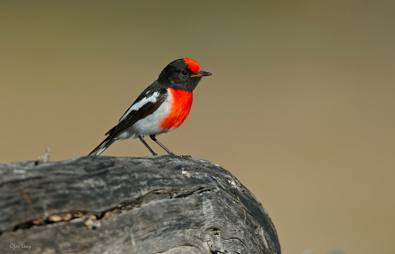 Red-capped Robin 3.jpg