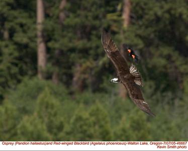 Osprey&RedWingedBlackbird46667.jpg