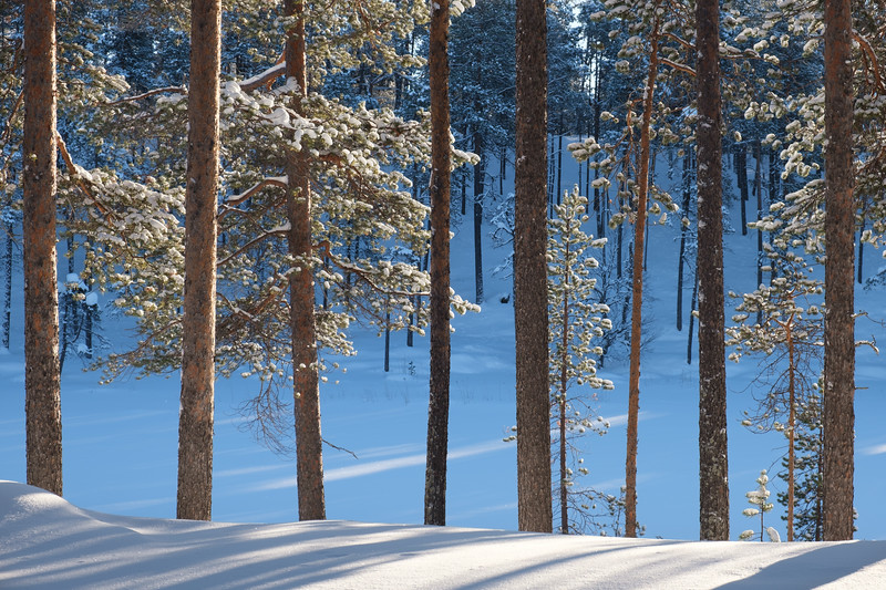 Trees, snow and light.