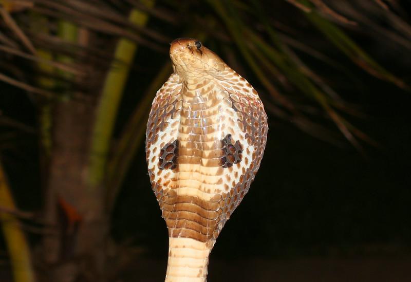 Cobra_1.jpg