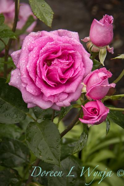 Rosa 06-01781 one_7011.jpg