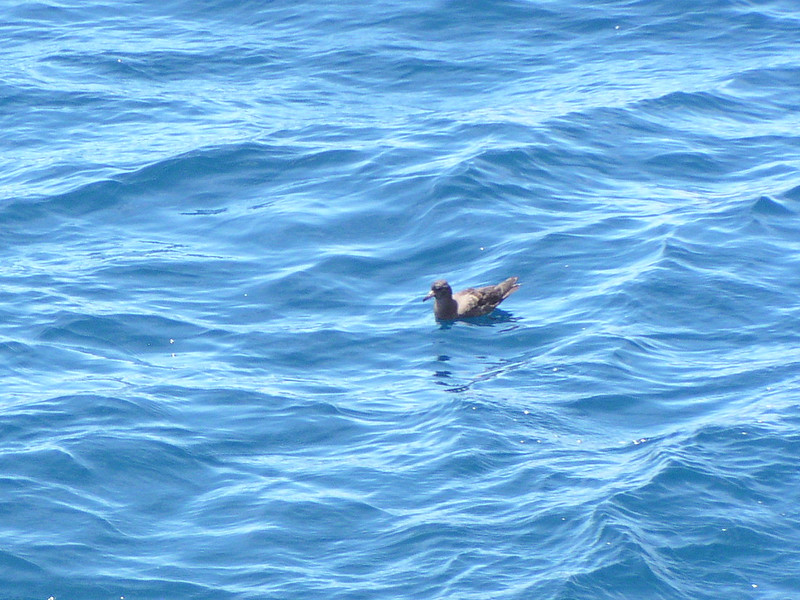 Flesh-footed Shearwater (Ardenna carneipes