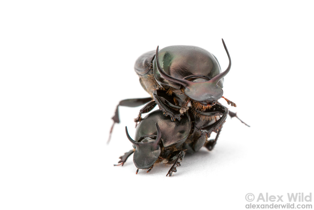 Onthophagus taurus dung beetles, showing size and horn variation among males.  filename: taurus1