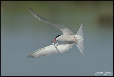 Common tern - Sterna comune ( Sterna hirundo ) - Texel island ( Nederland ) & Po delta wetlands ( Italy )