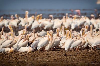 Hvitpelikan (Great White Pelican)