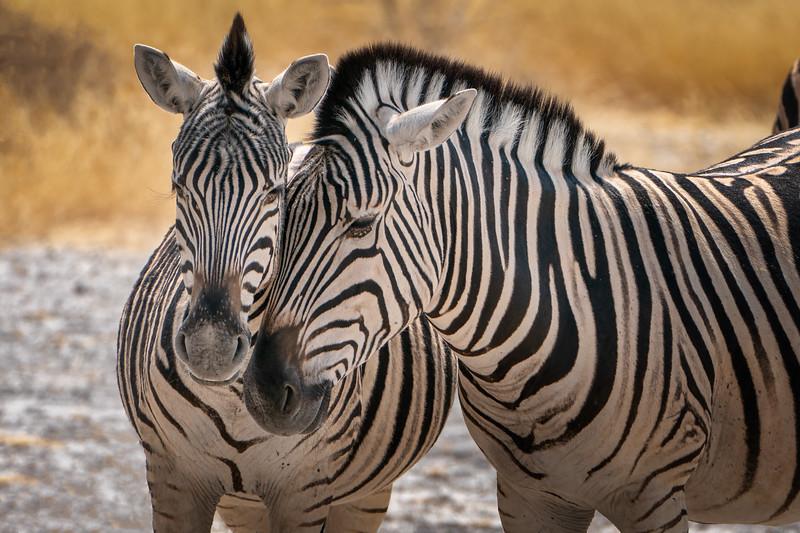 Zebras Snuggle