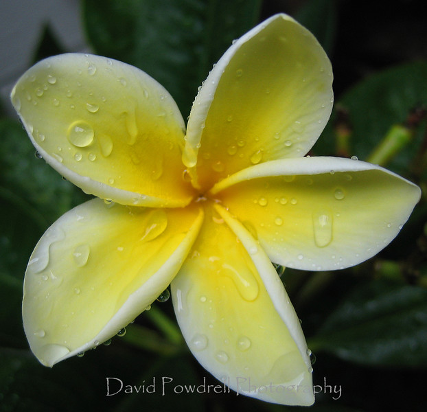 Plumeria = The symmetry of nature