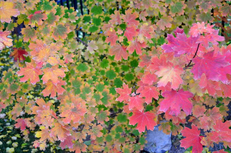 2012-10-23 ––– As I left for work this morning I stopped at our neighbors next door to shoot this small maple tree. I loved the bright red leaves, but also those that were still mostly green but starting to turn red or yellow on the edges. It has been a wonderful fall.