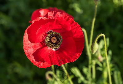 Macro view of bright red poppy flower