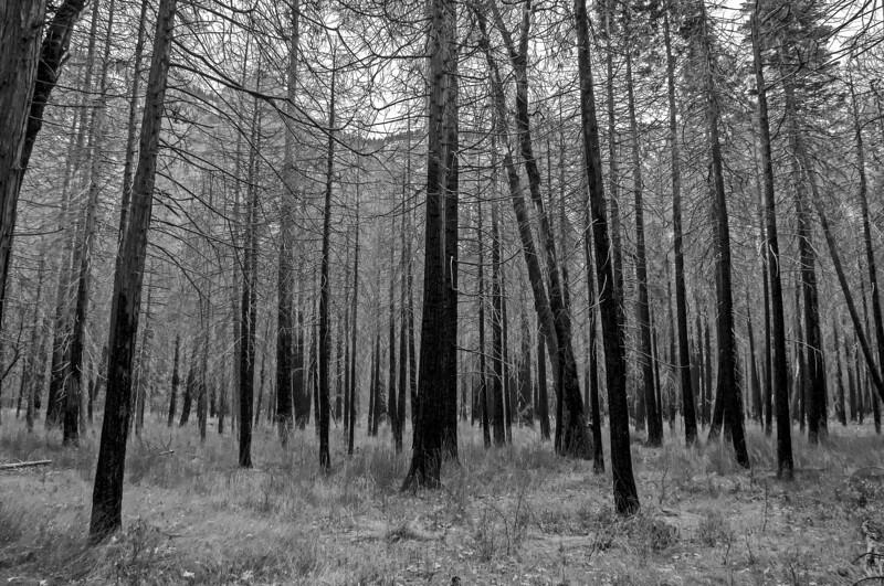 Yosemite_Trees-2.jpg
