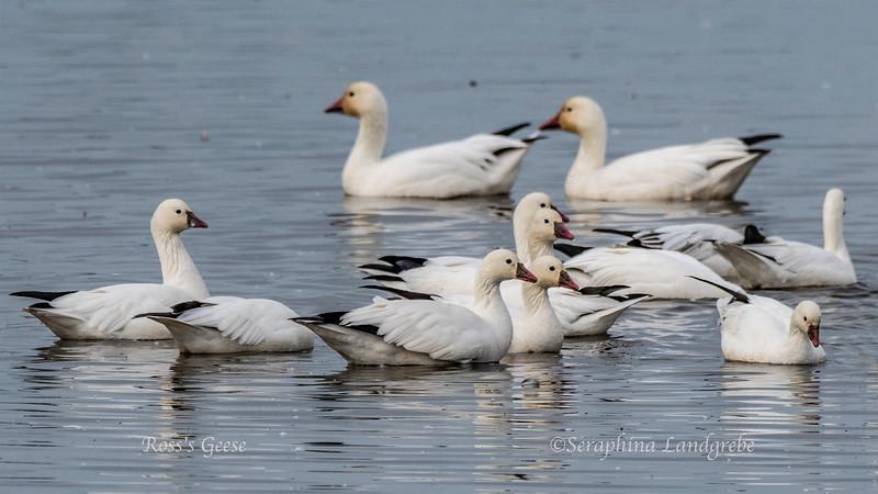 _DSC8683Ross's Geese.jpg