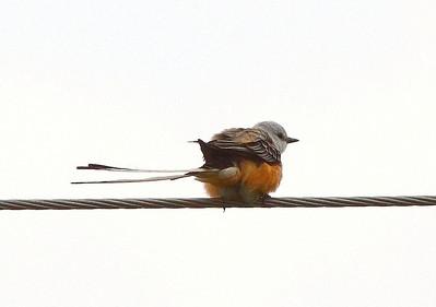 Documentation Scissor-tailed Flycatcher - Highway N - 2008 - 2009