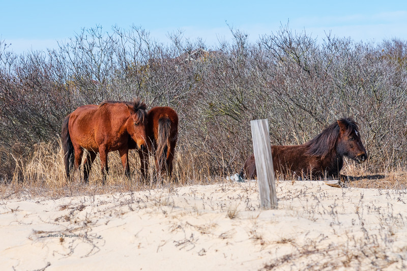 Wild Horses of North Carolina