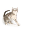 A gray kitten playing on white background.