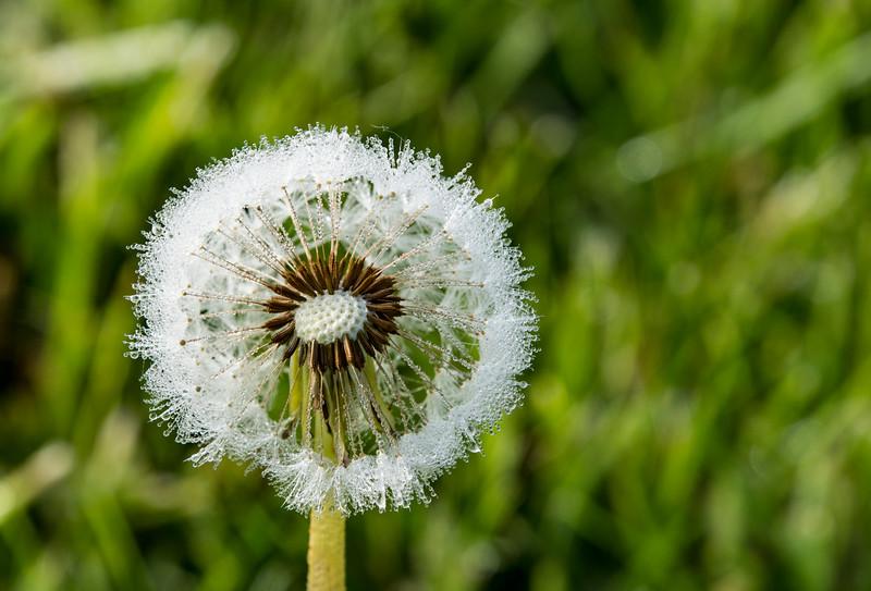 Taraxacum-officinale-dandelion-dew-drops4.jpg