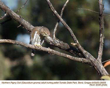 Northern Pigmy Owl A29055.jpg