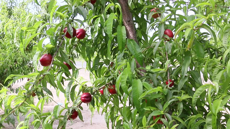 Honey May Nectarine Orchard.MOV