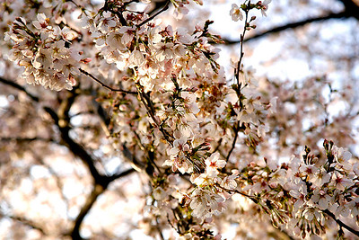Japan--Cherry Blossoms (Sakura)